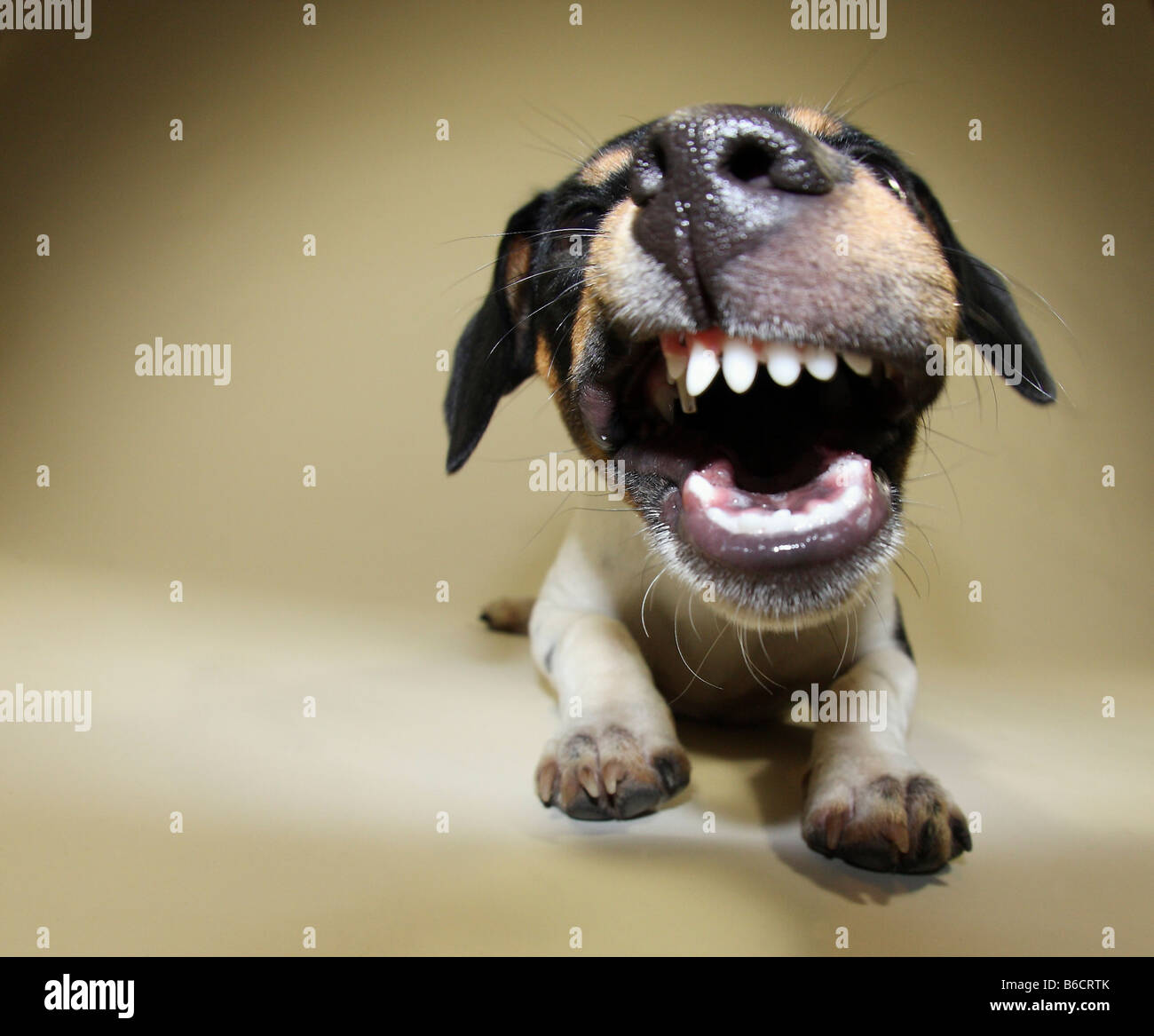 Close-up of Jack Russel Terrier dog snarling - Stock Image