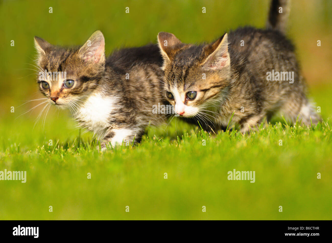 Close-up of two kittens walking in lawn - Stock Image