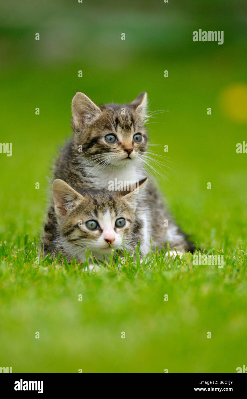 Close-up of two kittens in lawn - Stock Image