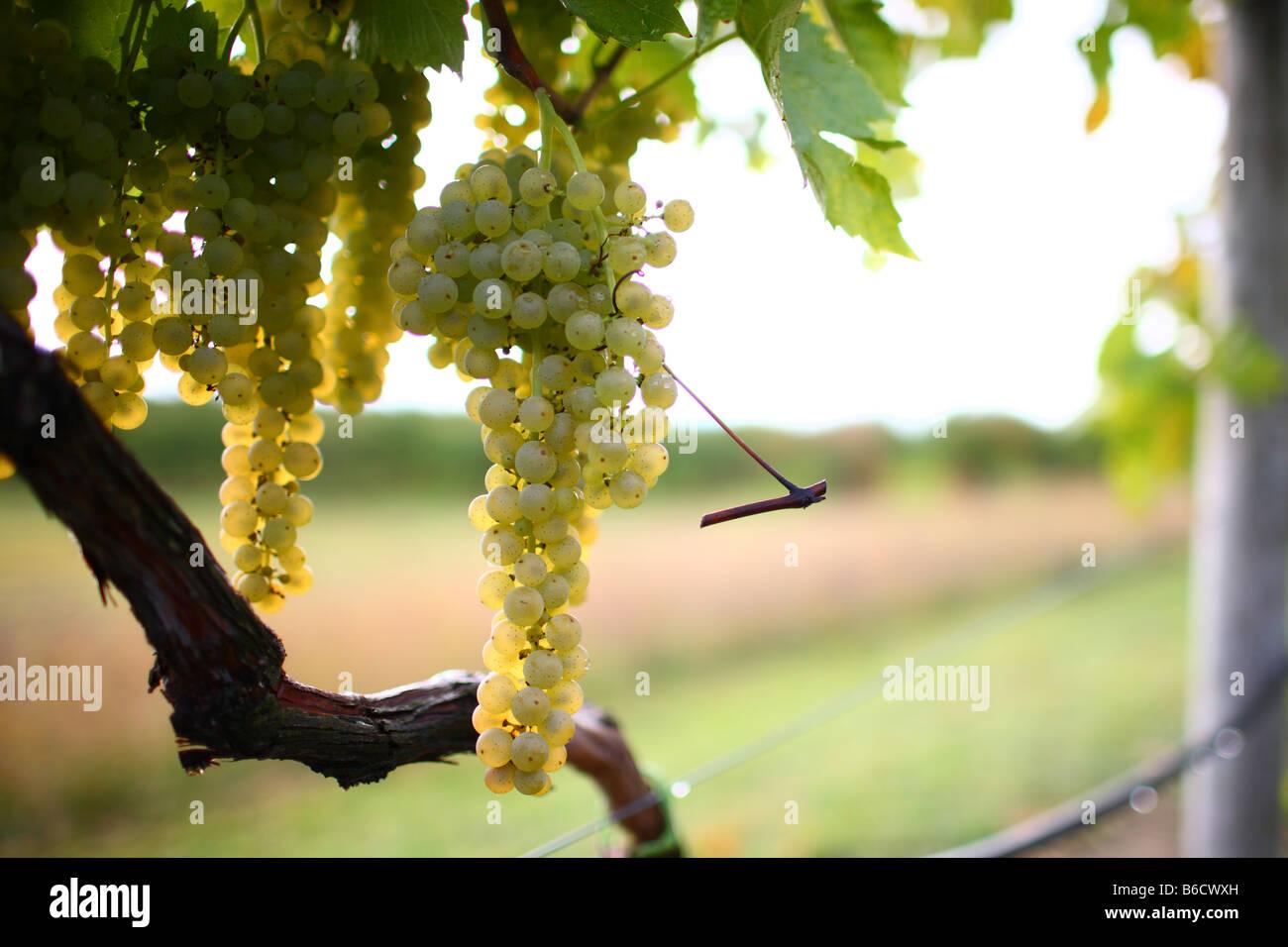 Sweet vine ripened grapes on a northern Michigan vineyard Stock Photo