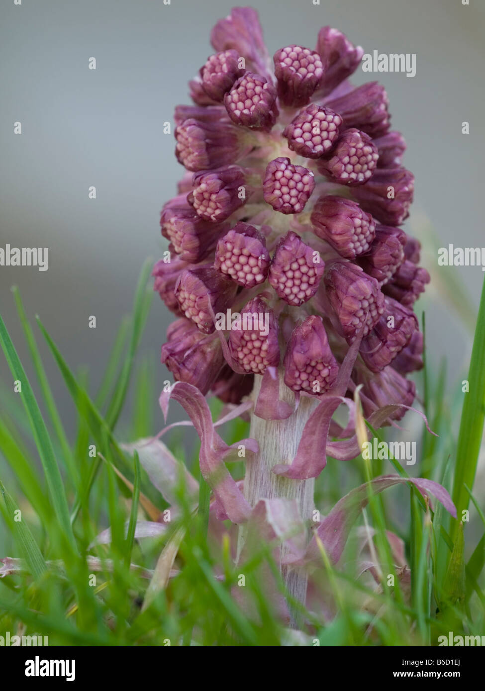 Close-up of lavenders - Stock Image