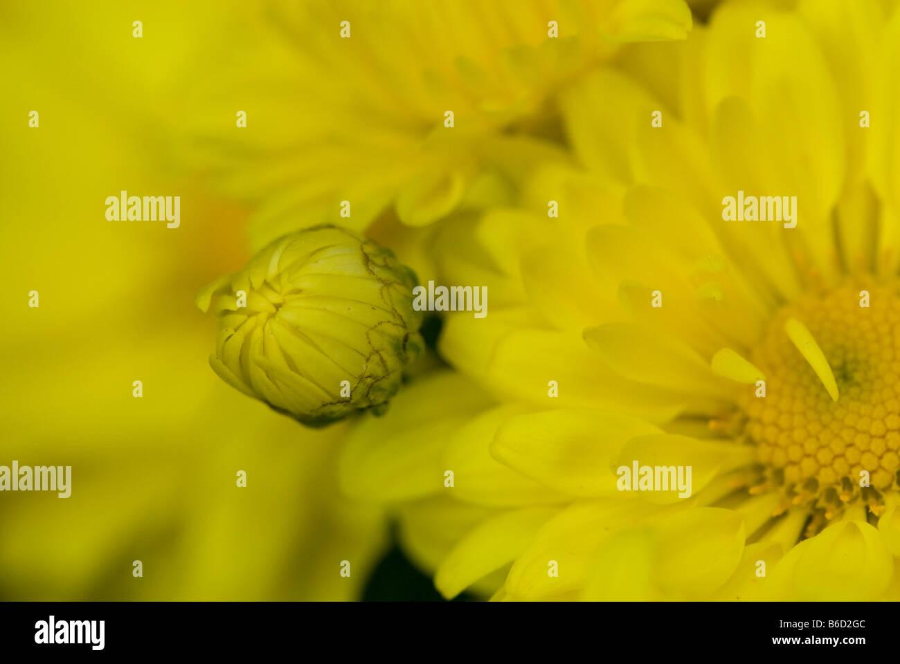 Bright yellow unopened and opened Chrysanthemum. - Stock Image