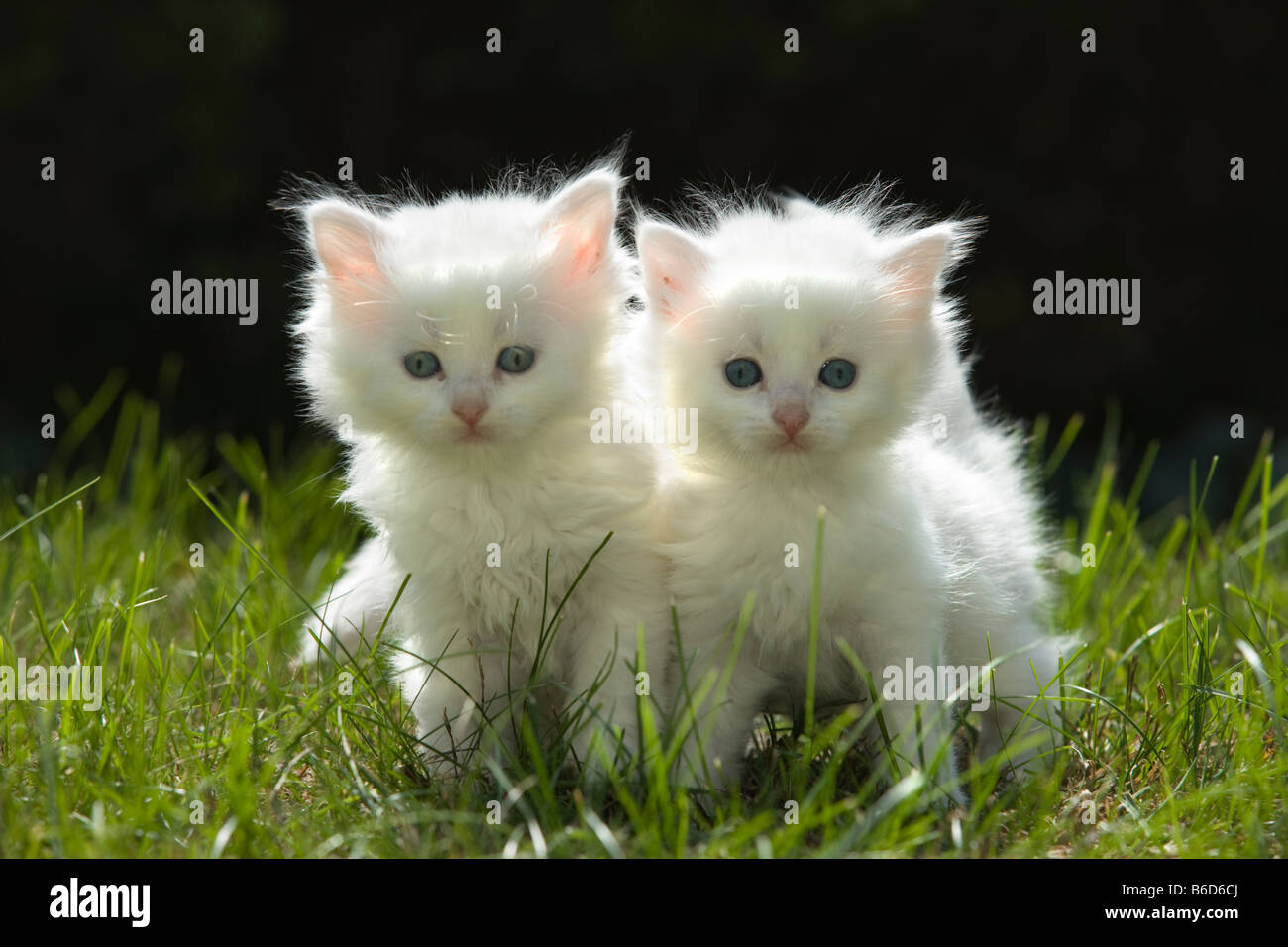 Two 6 Week Old Long Haired White Kittens On Grass In Garden Stock