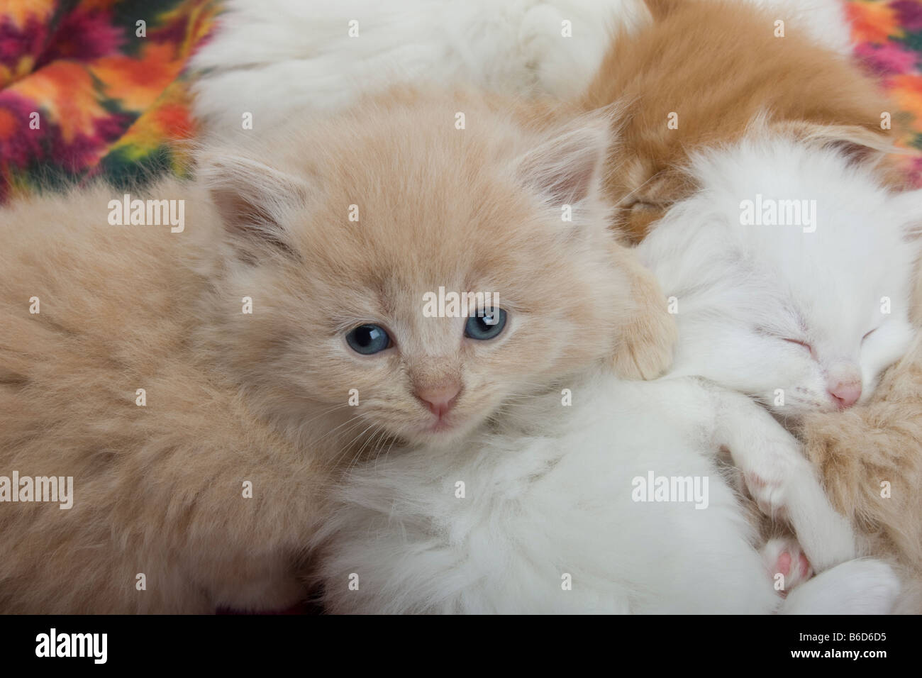 Group Of Four 6 Week Old Long Haired White Ginger Kittens Asleep On