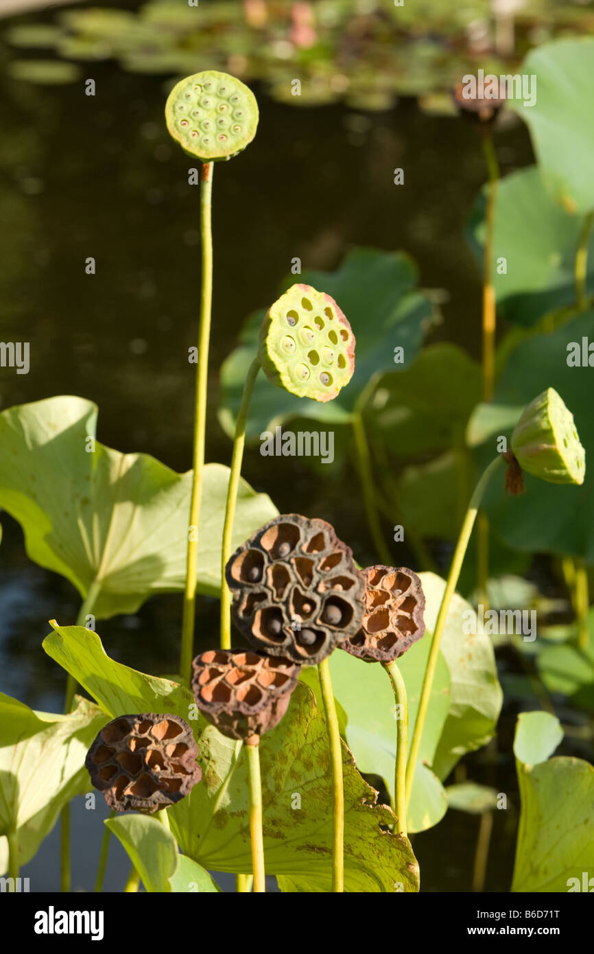 Lotus seed receptacles in the lotus pond at the Brooklyn Botanic Gardens - Stock Image
