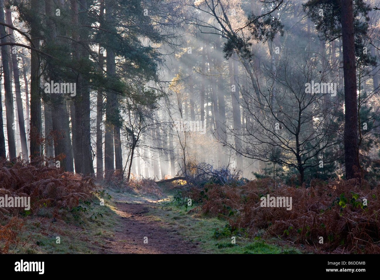 'sun beams' shining through trees on a misty morning in woodland - Stock Image