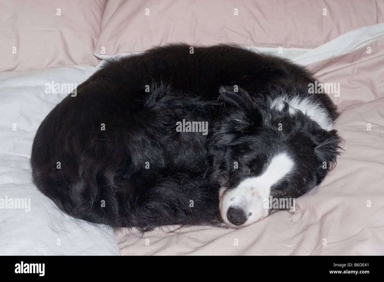 Border collie asleep on a bed - Stock Image