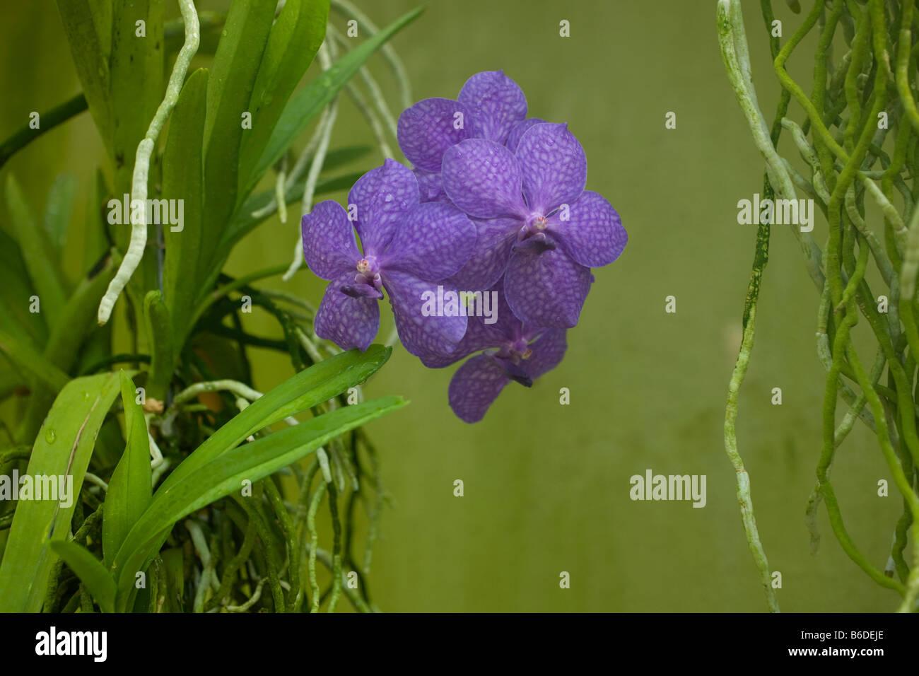 Vanda Manivadee Sky orchid family - Stock Image