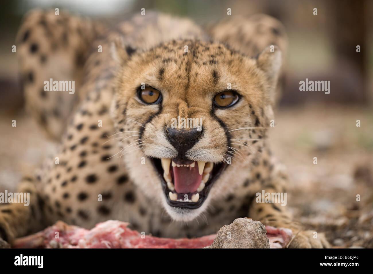 Africa Namibia Keetmanshoop Captive Adult Female Cheetah Acinonyx jubatas snarls while feeding on raw meat at game - Stock Image