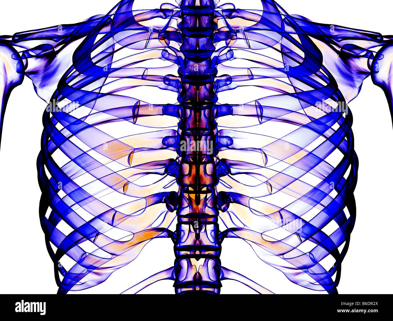 Ribcage, the pectoral girdle and ribcage as seen from the front ...