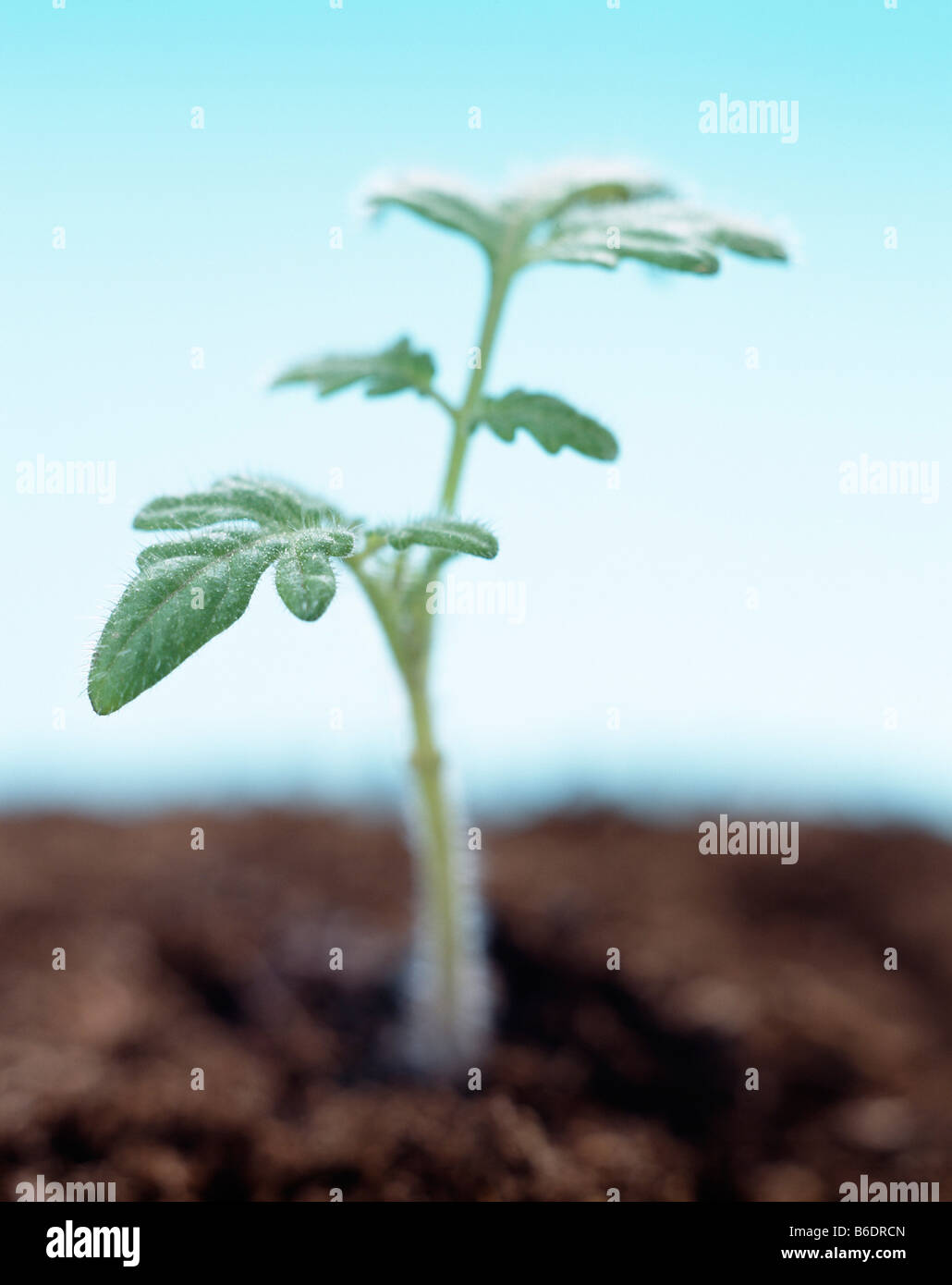Plant Trichome Stock Photos & Plant Trichome Stock Images - Alamy