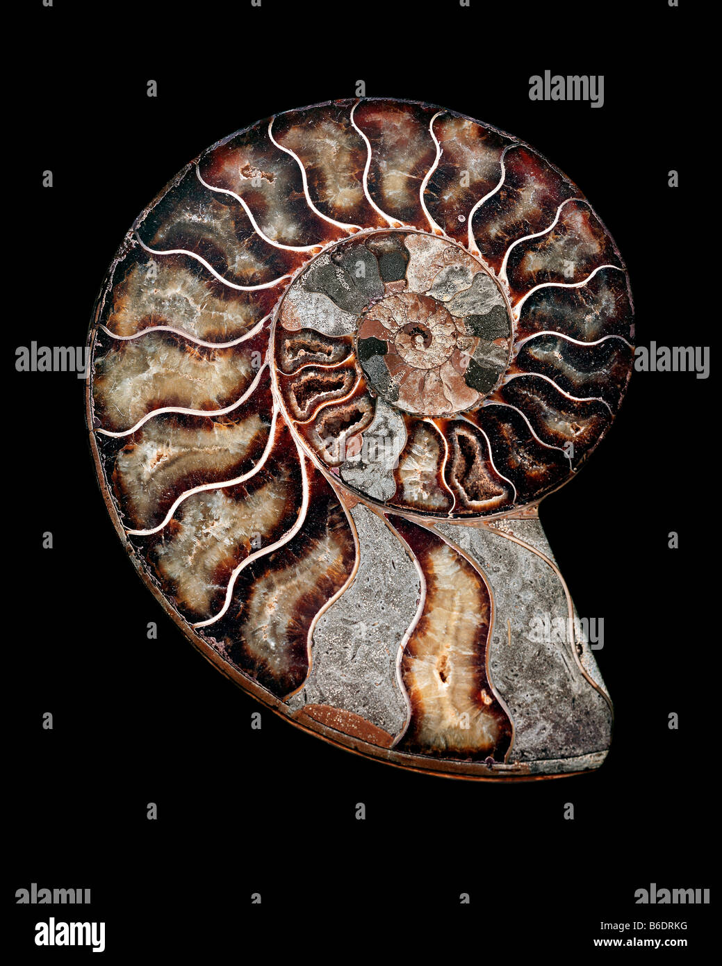 Ammonite. Polished sectioned ammonite fossil. Ammonites are extinct marine invertebrates. Stock Photo