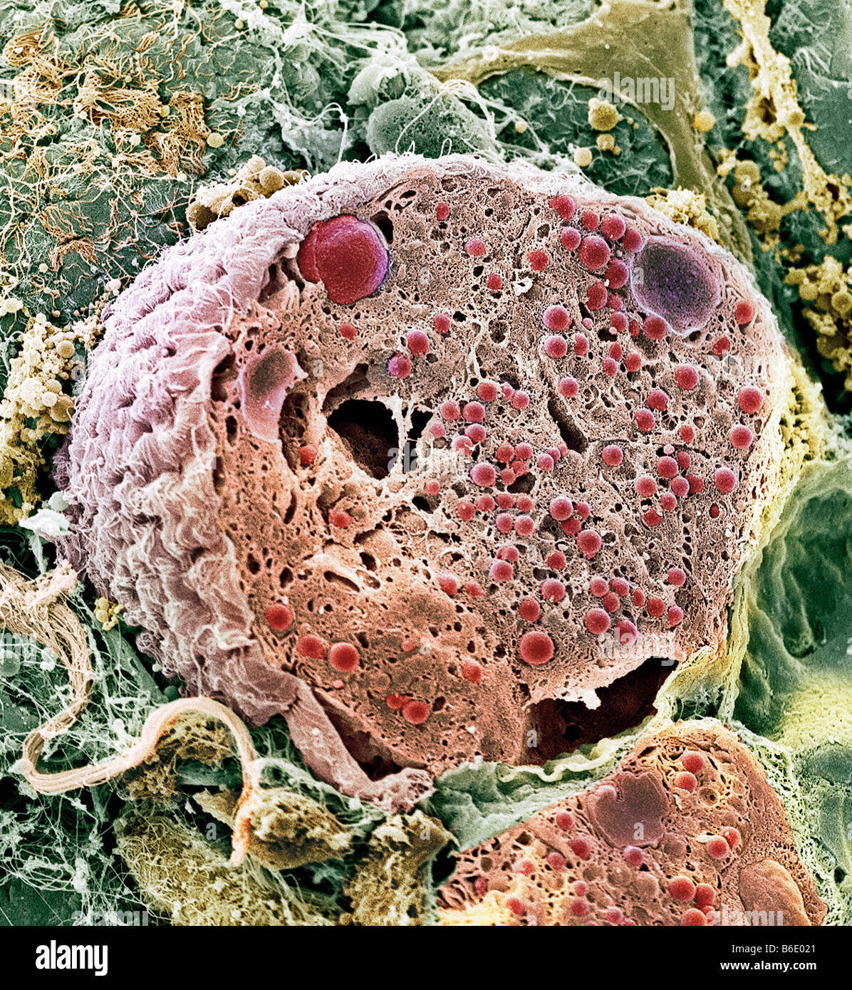 Pancreas cell, Coloured scanning electronmicrograph (SEM) of an acinar (exocrine)pancreatic cell Stock Photo
