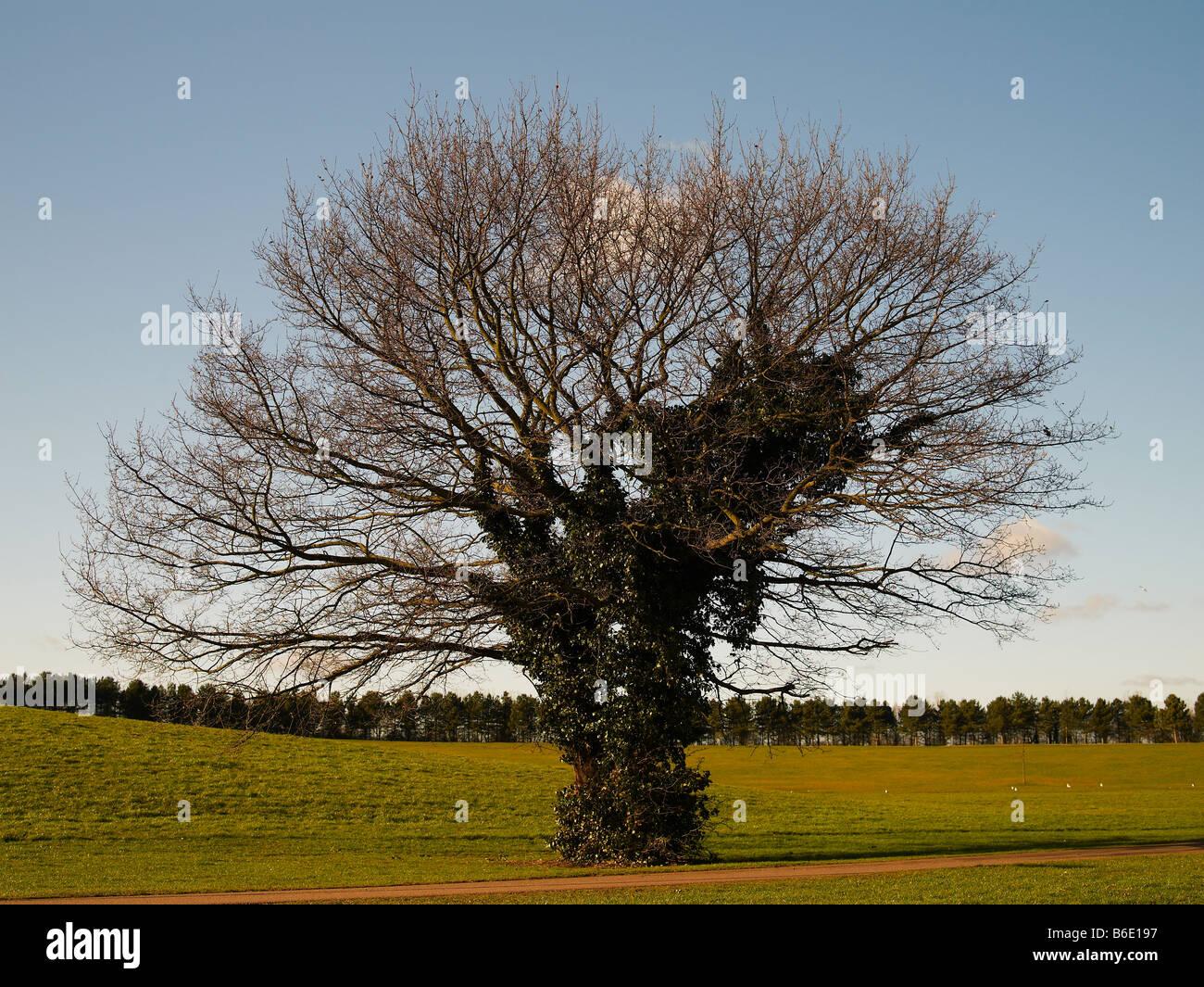 Bare tree, Willen Lake, Milton Keynes, Midland, UK - Stock Image