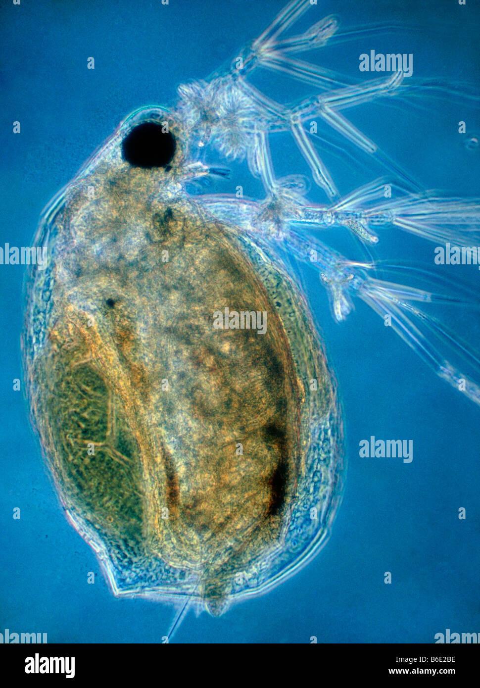 Waterflea Light Micrograph Of A Waterflea Daphnia Pulex A Small
