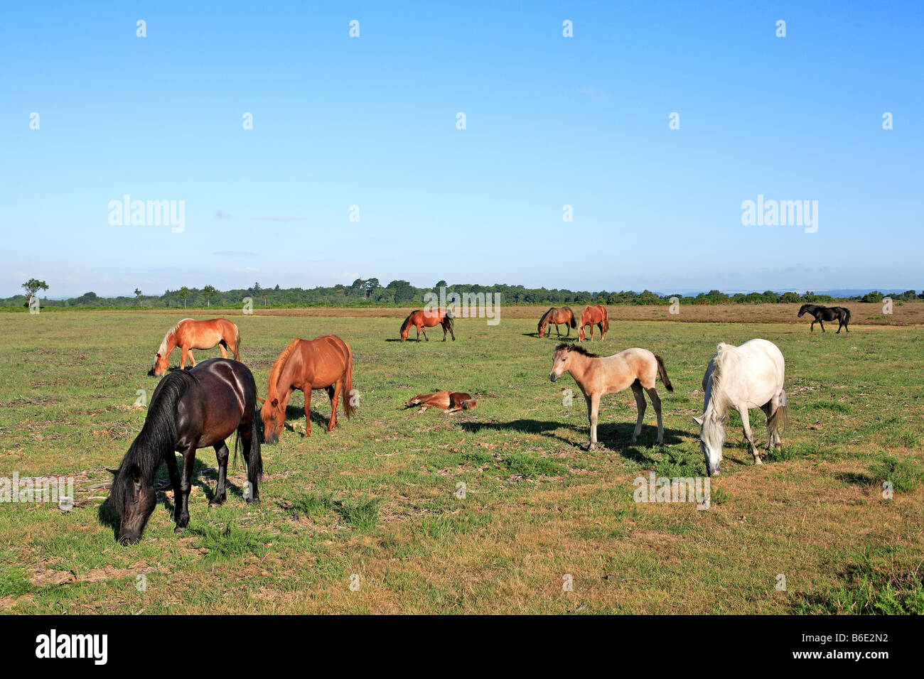 1669 New Forest Ponies Hants UK - Stock Image