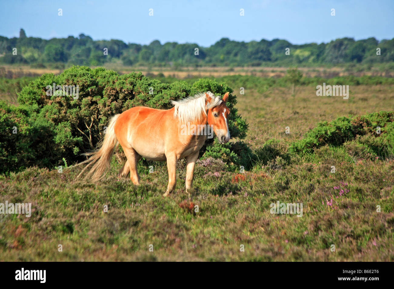 1681 New Forest Ponies Hants UK - Stock Image