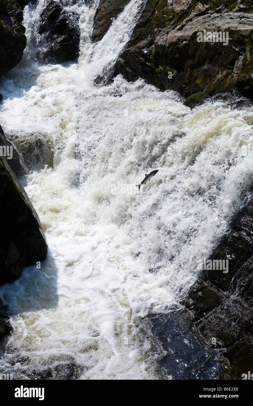 A salmon jumping up the waterfall on the River Feugh at Bridge of Feugh, Aberdeenshire at the end of July - Stock Image