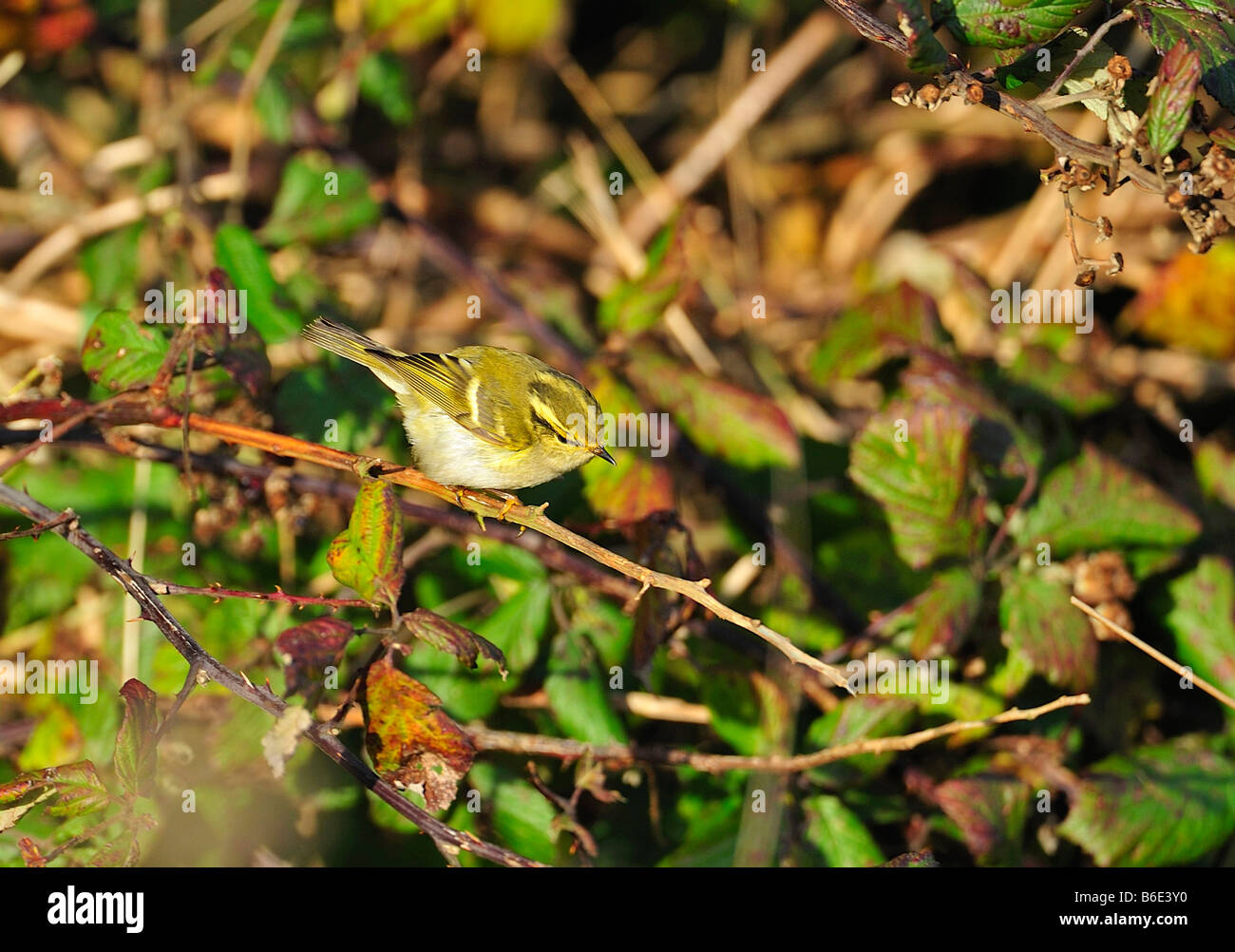 Pallas's Warbler. Phylloscopus proregulus Stock Photo