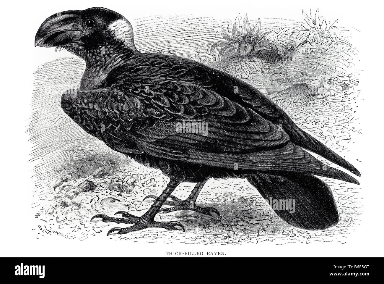 Thick-billed Raven (Corvus crassirostris), a Corvid from the Horn of Africa, shares with the Common Raven - Stock Image