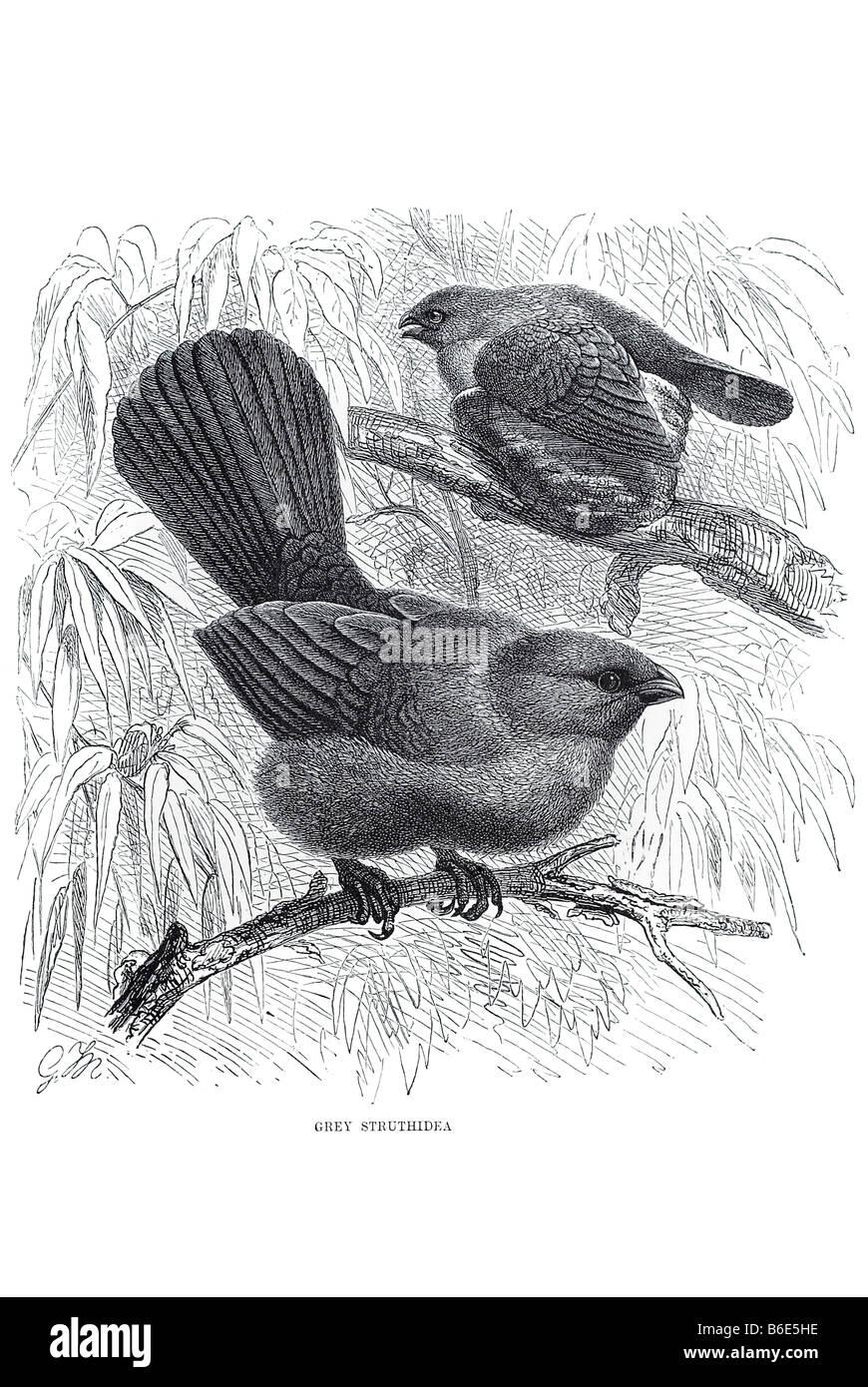 grey struthidea Struthidea cinerea Grey Jumper Australia woodlands - Stock Image