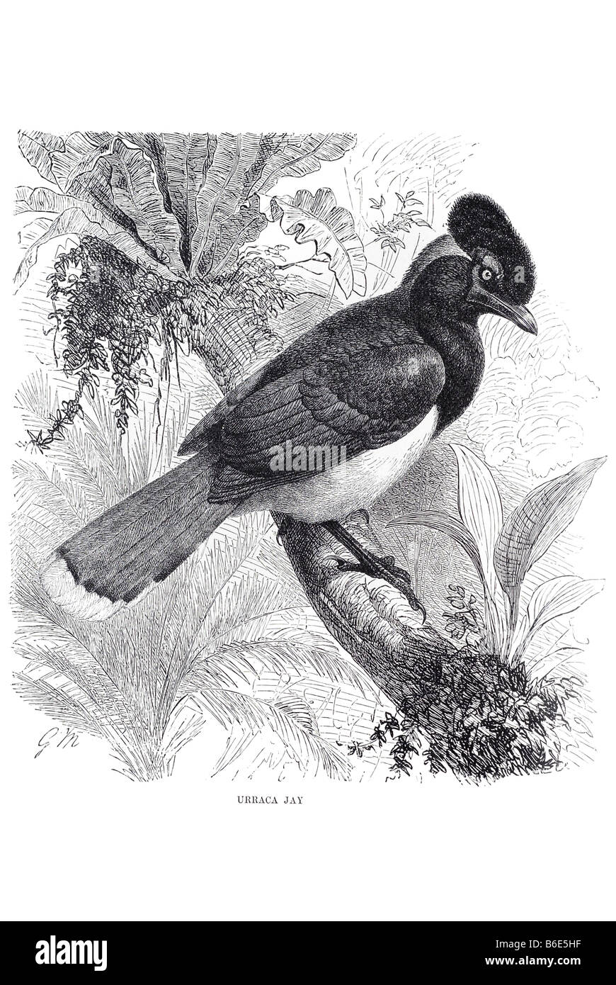 urraca jay Magpies are passerine birds of the crow family, Corvidae. The names 'jay' and 'magpie' - Stock Image