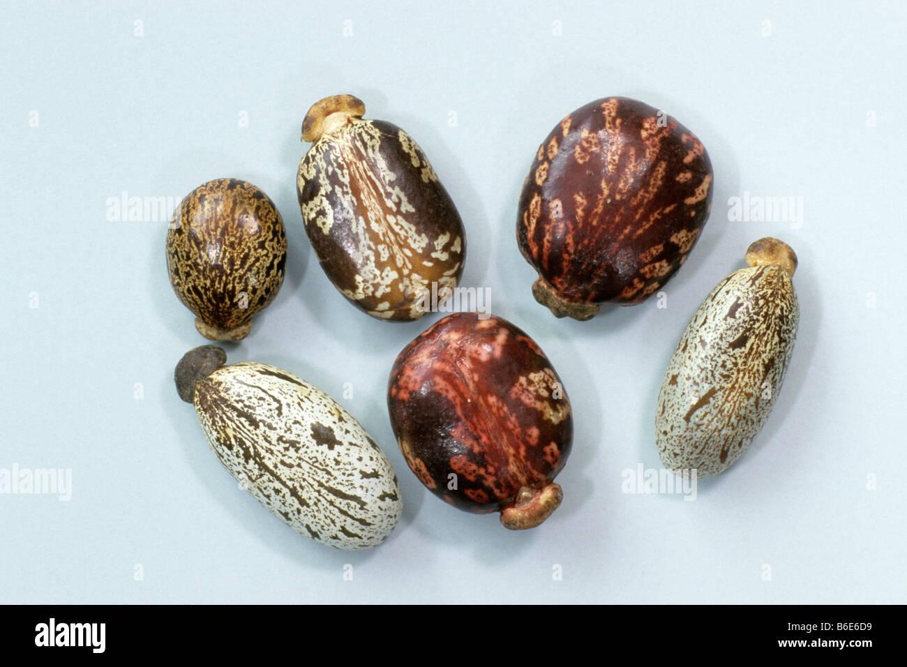 Castor Oil Plant Ricinus Communis Seeds Studio Picture Stock Photo Alamy