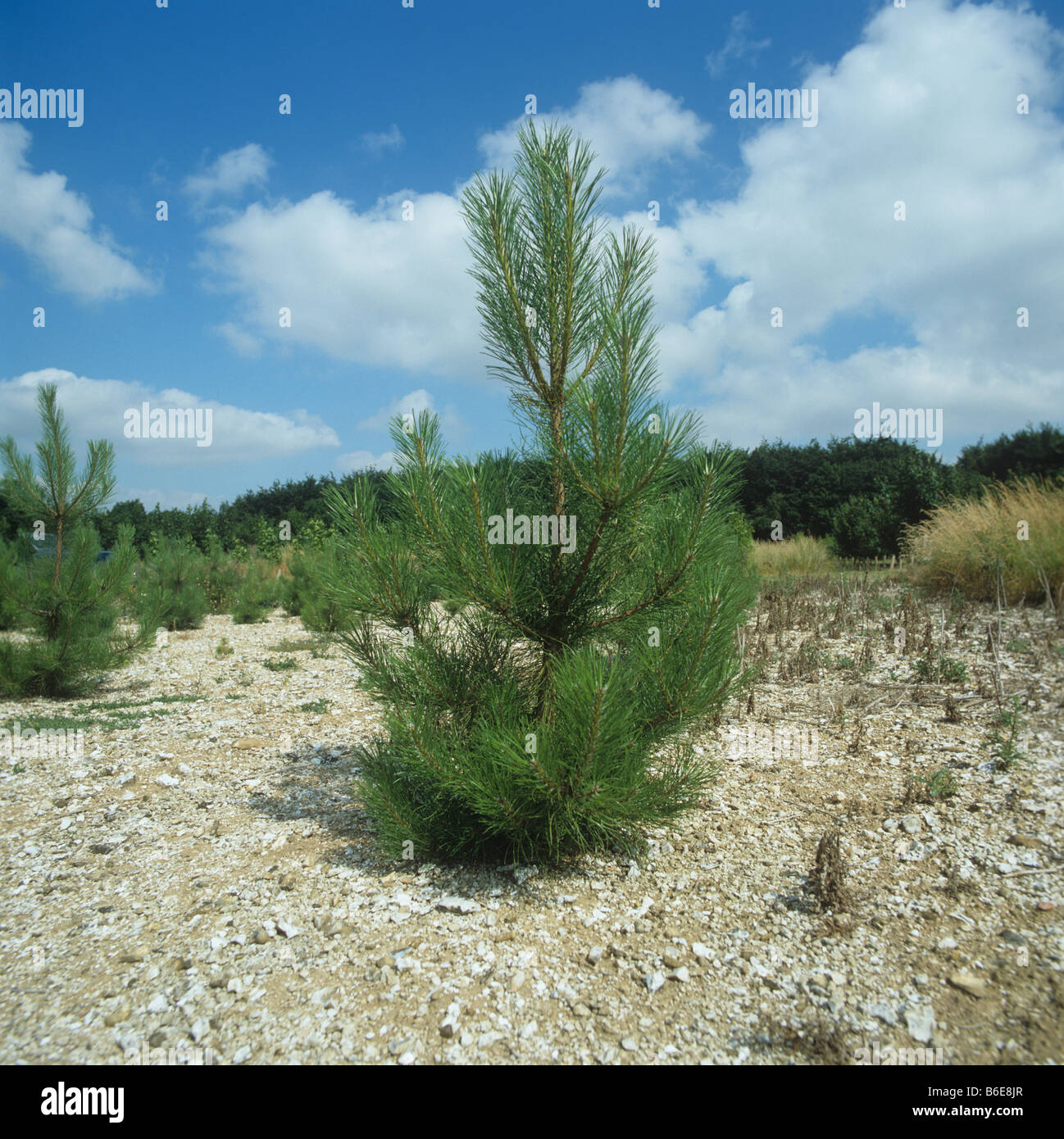 Young pine tree sapling reforestation experiment with weed control Hampshire - Stock Image