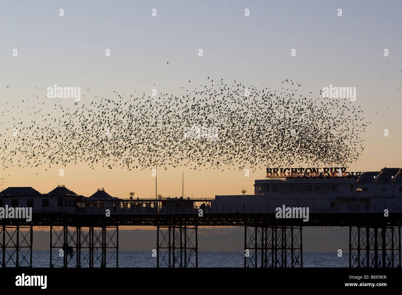 Large flock or 'murmuration' of Starlings Sturnus vulgaris above Brighton Pier Brigton East Sussex UK winter - Stock Image