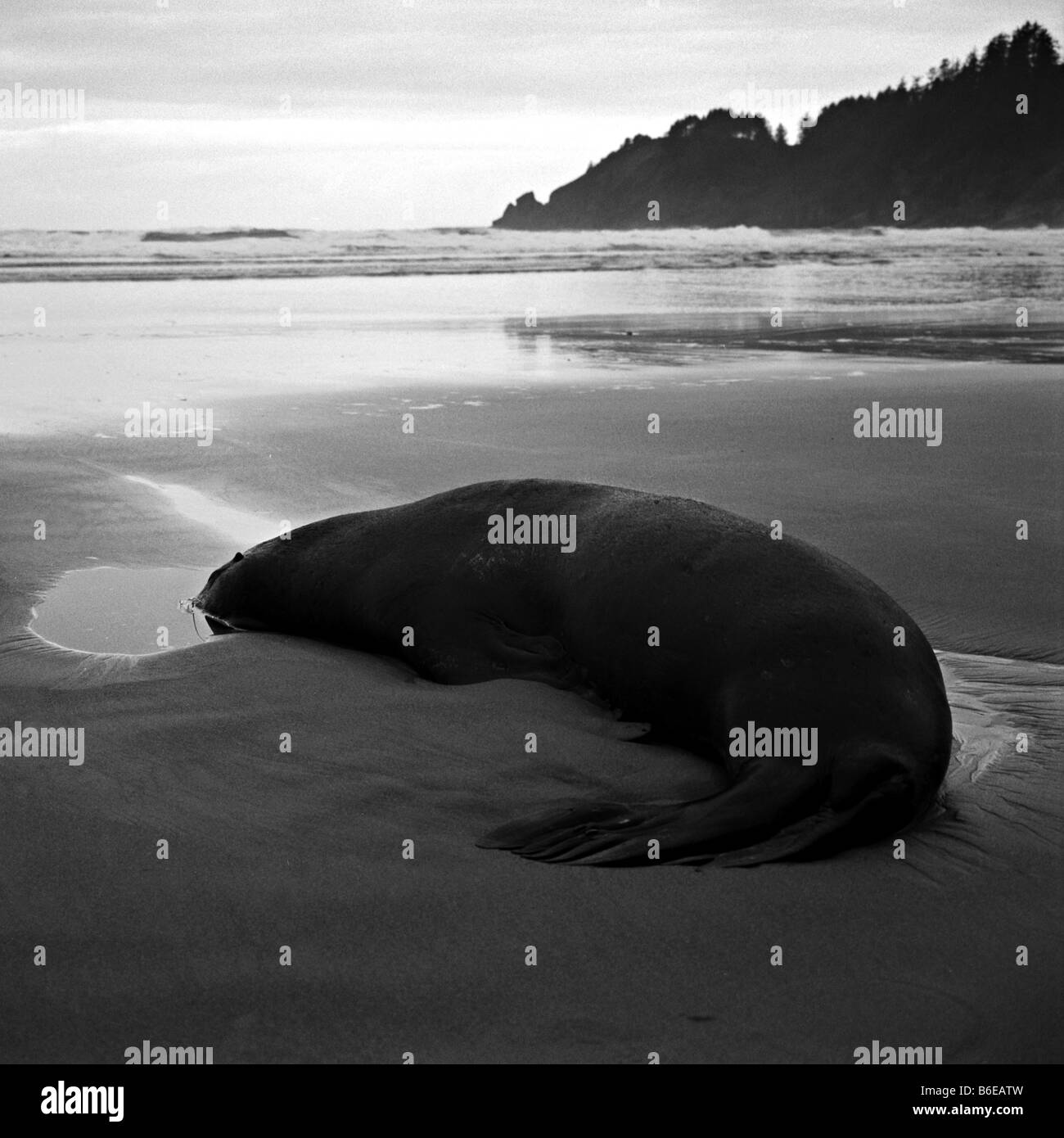 A dead sea lion on Short Sands Beach in Oregon. - Stock Image