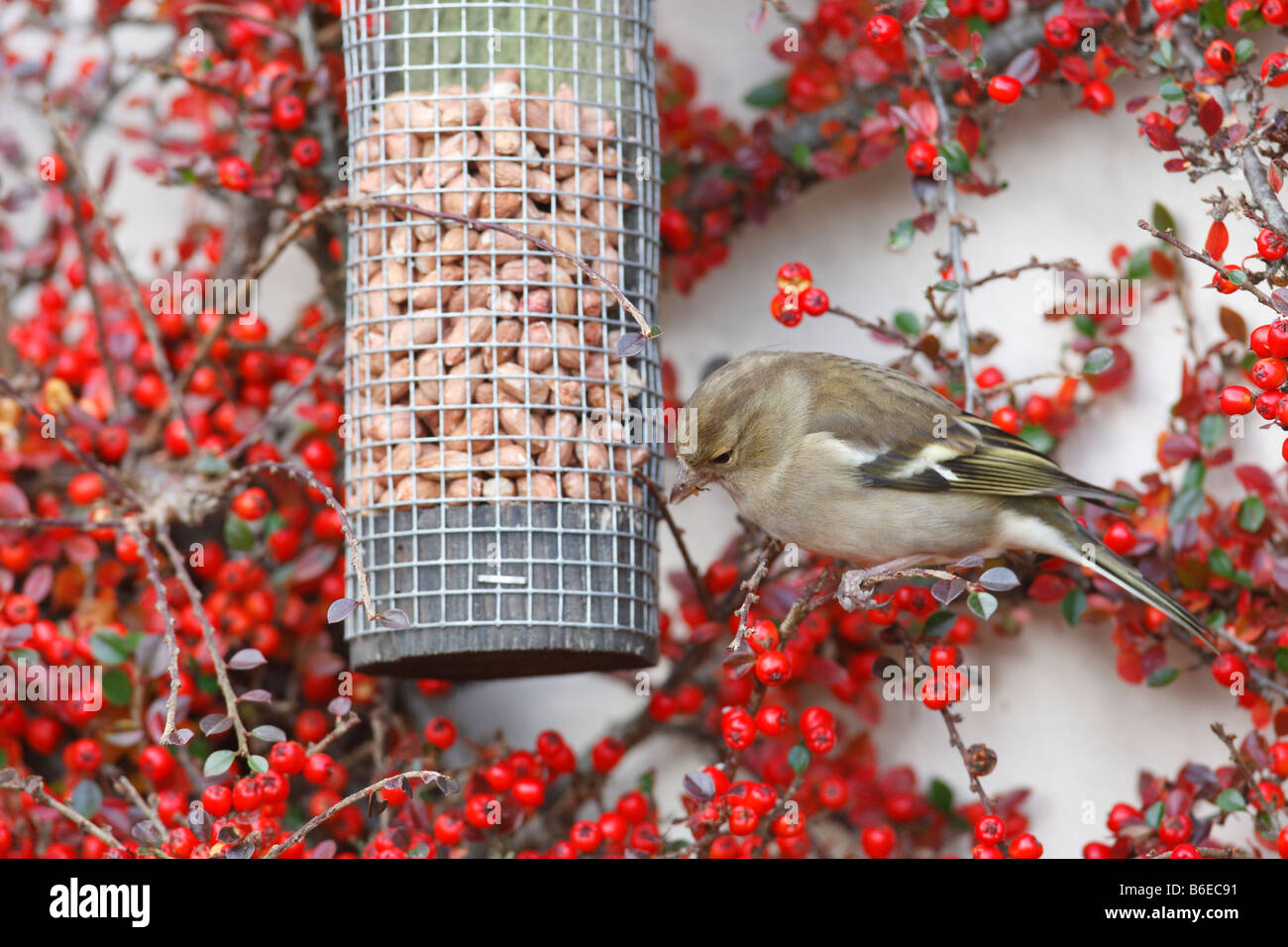 CHAFFINCH Fringilla coelebs FEMALE AT NUT FEEDER - Stock Image