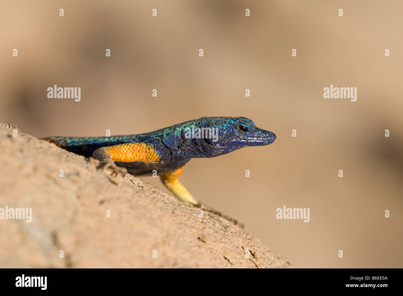South Africa Augrabies Falls National Park Morning sun lights Augrabies flat lizard Stock Photo