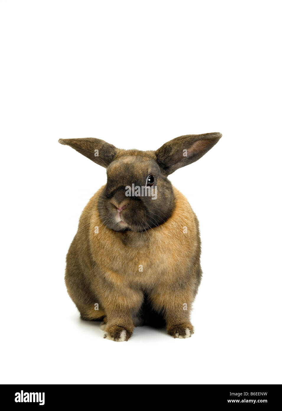 Domestic Rabbit - Stock Image