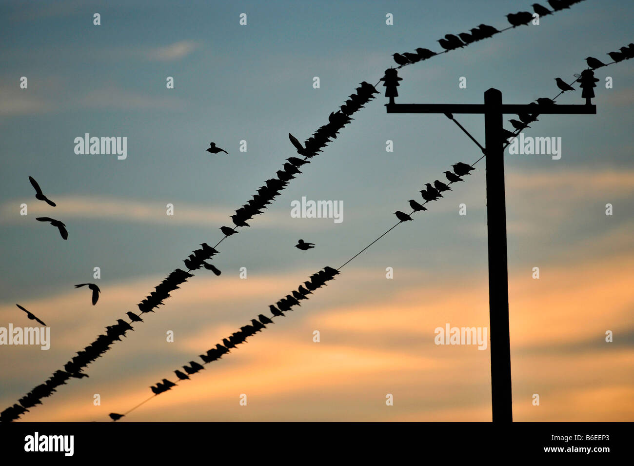 Many Starlings on wires at sunset. Sturnus vulgarus. French: Étourneau sansonnet German: Star Spanish: Estornino - Stock Image