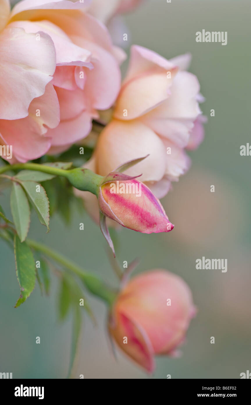 excellent image of pink roses at varying stages - Stock Image