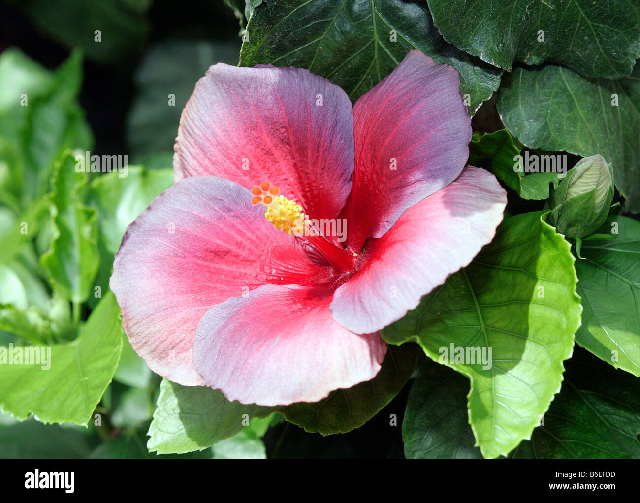 A night fire chinese hibiscus flower stock photo 21217769 alamy a night fire chinese hibiscus flower izmirmasajfo