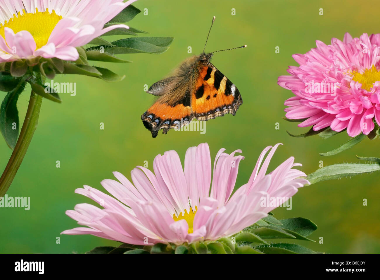 Small Tortoiseshell (Nymphalis urticae), butterfly, Saxony-Anhalt, Germany - Stock Image