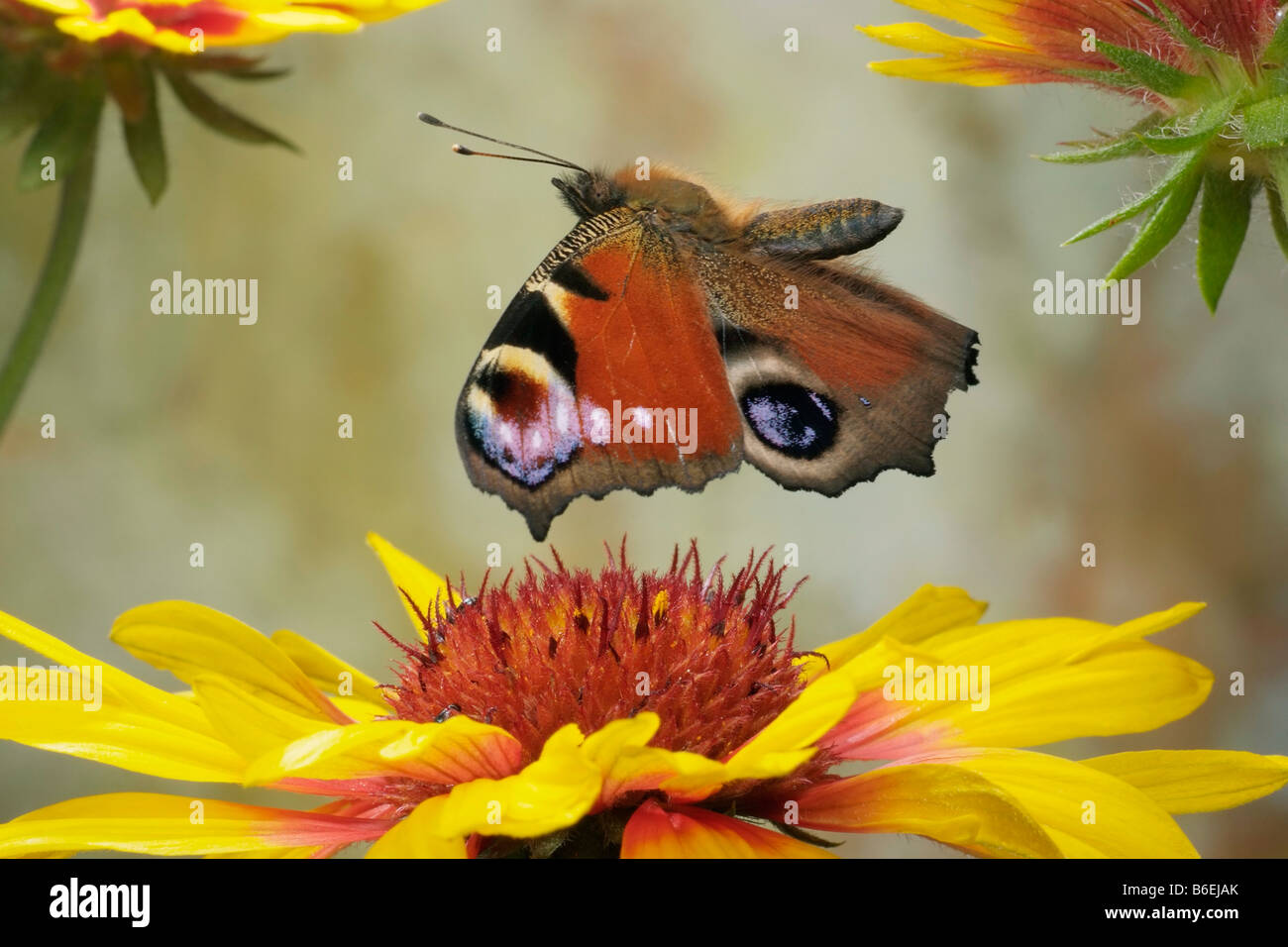 European Peacock Butterfly (Inachis io), Saxony-Anhalt, Germany - Stock Image