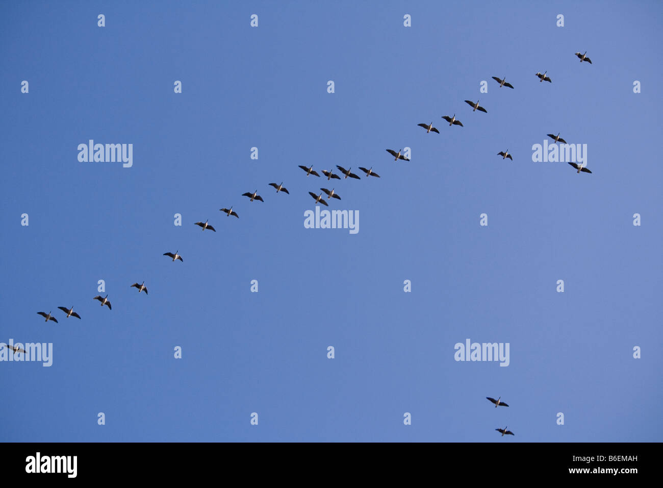 Skein of geese coming in to roost at Martin Mere Wildfowl and Wetlands Trust in Lancashire UK.  Photographed in - Stock Image