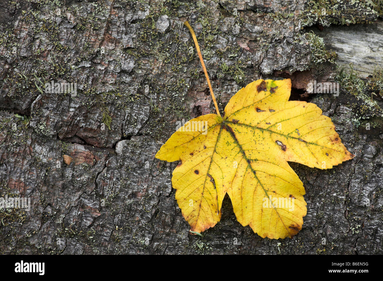 Autumnal deciduous leaf on a bark surface, Eyachtal Valley, Baden-Wuerttemberg, Germany, Europe - Stock Image