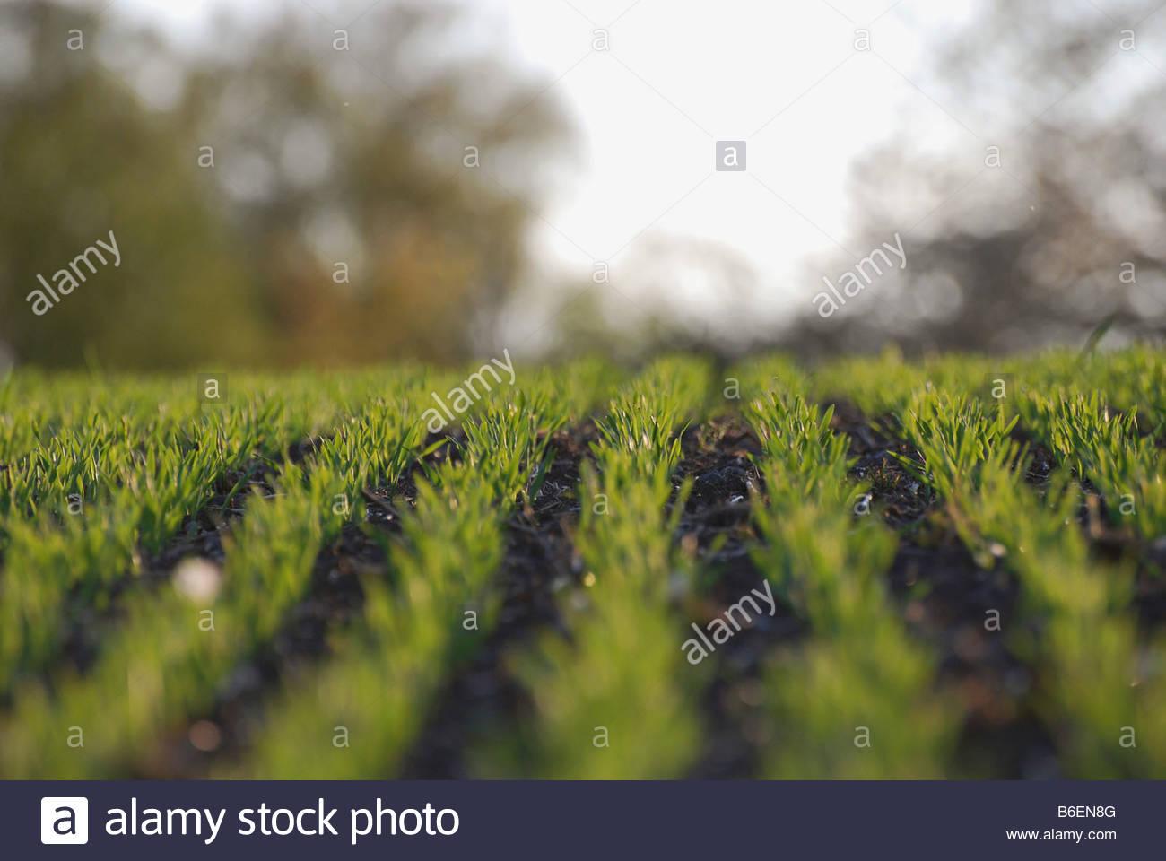 Rows of corn - Stock Image