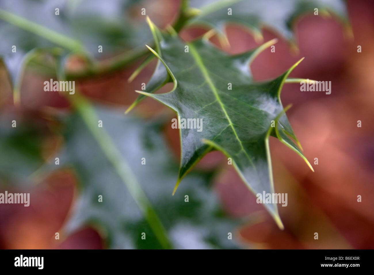 Close up of holly bush - Stock Image