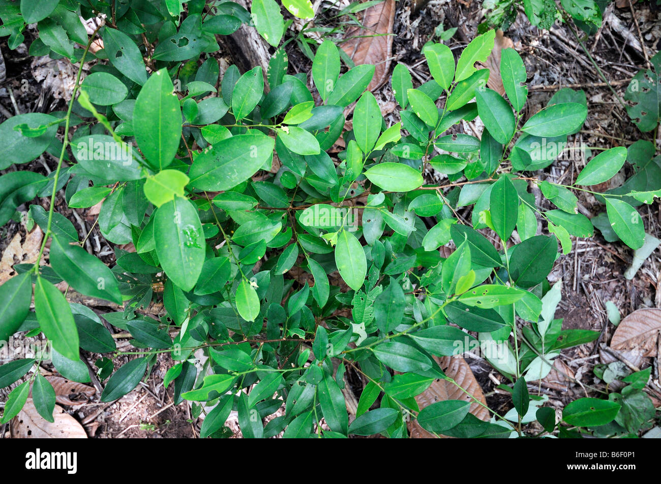 Coca plant cultivation, Bolivia, South America - Stock Image