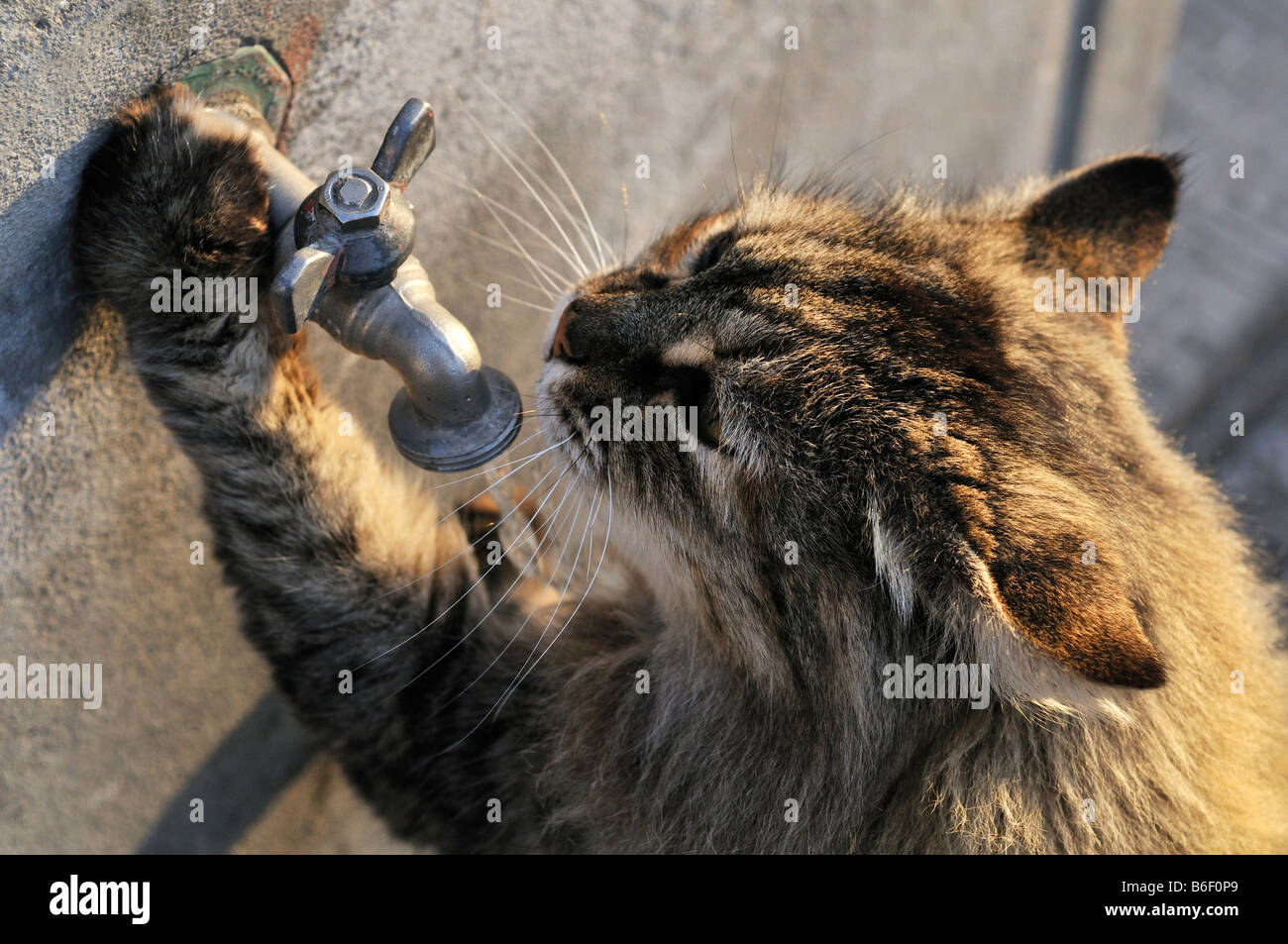 Cat drinking water from a tap Stock Photo