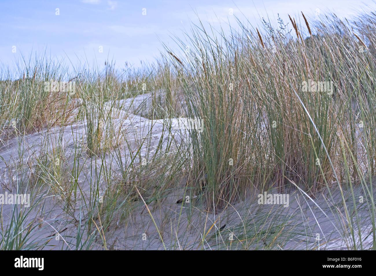 Marram by the sea, Usedom island, Mecklenburg-Western Pomerania, Germany, Europe - Stock Image