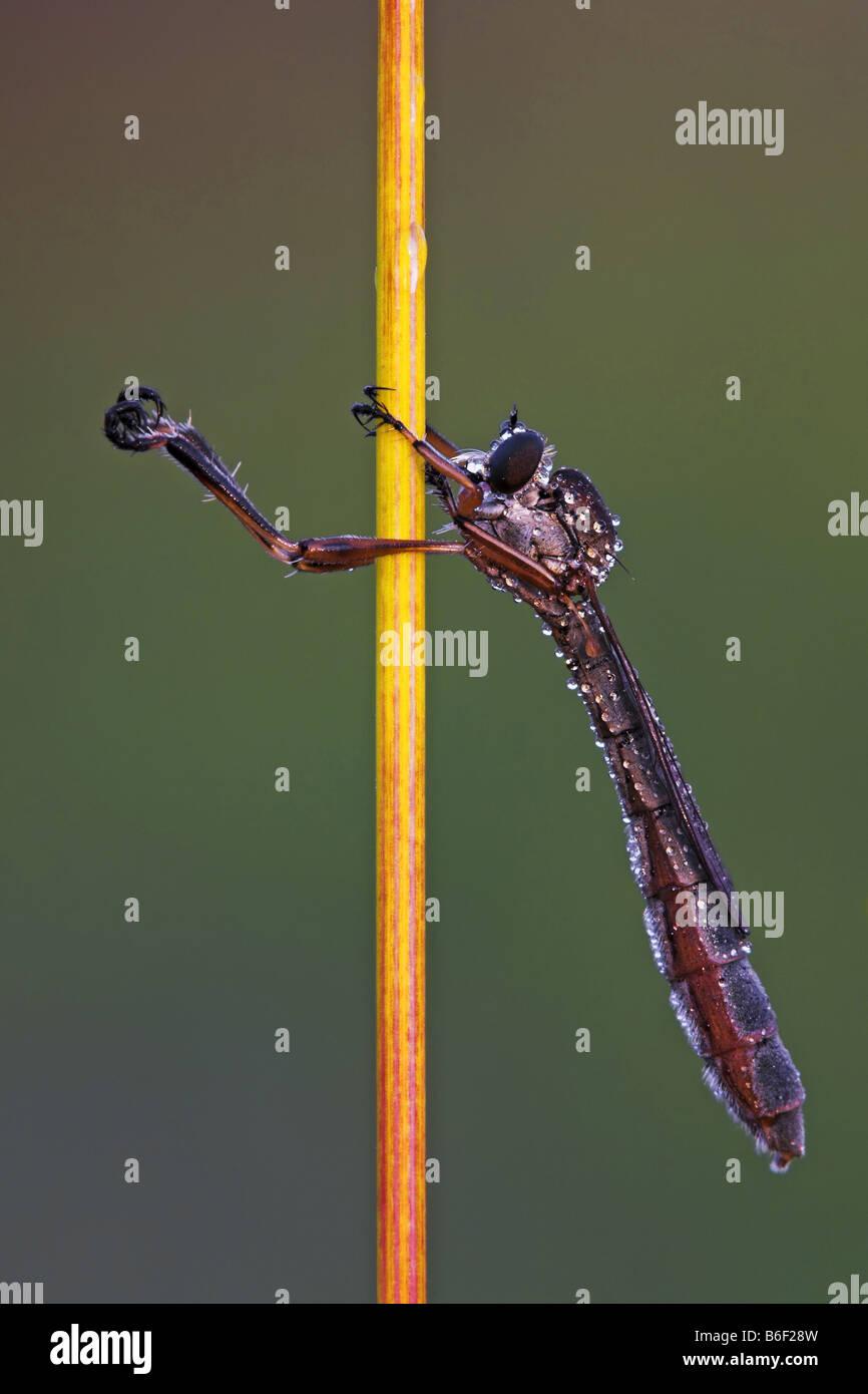 grass flie, leptogasterid flie (Leptogaster spec.), on a stem Stock Photo