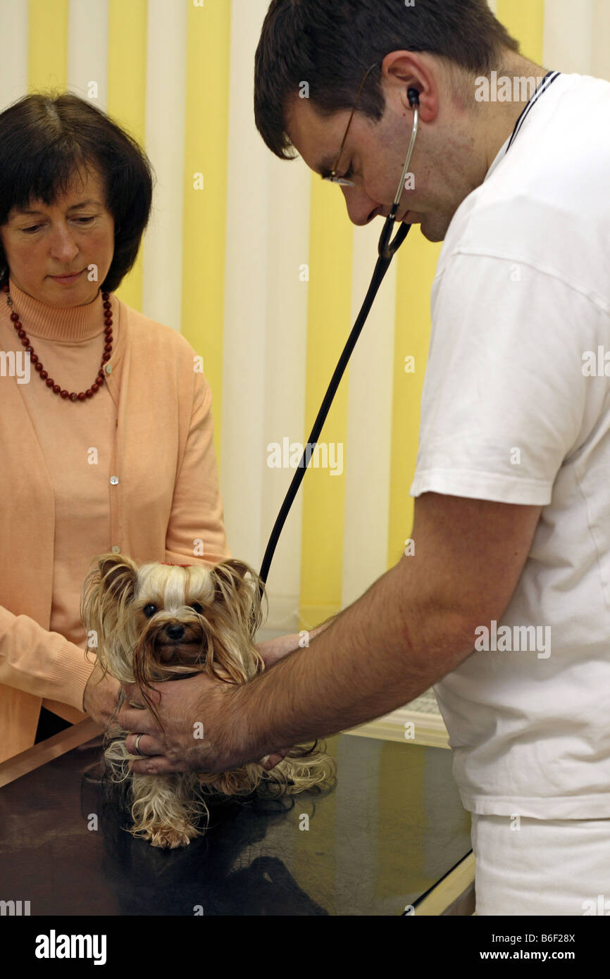 Yorkshire Terrier (Canis lupus f. familiaris), is under examination with stethoscope by veterinary - Stock Image