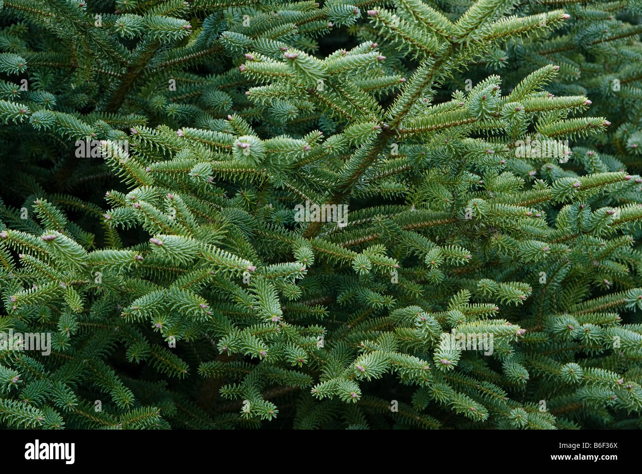 A branch of conifer tree at Mount Ruapehu, Central North Island, New Zealand - Stock Image