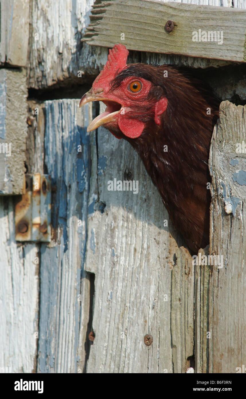 Mature rhode island red hen — pic 13