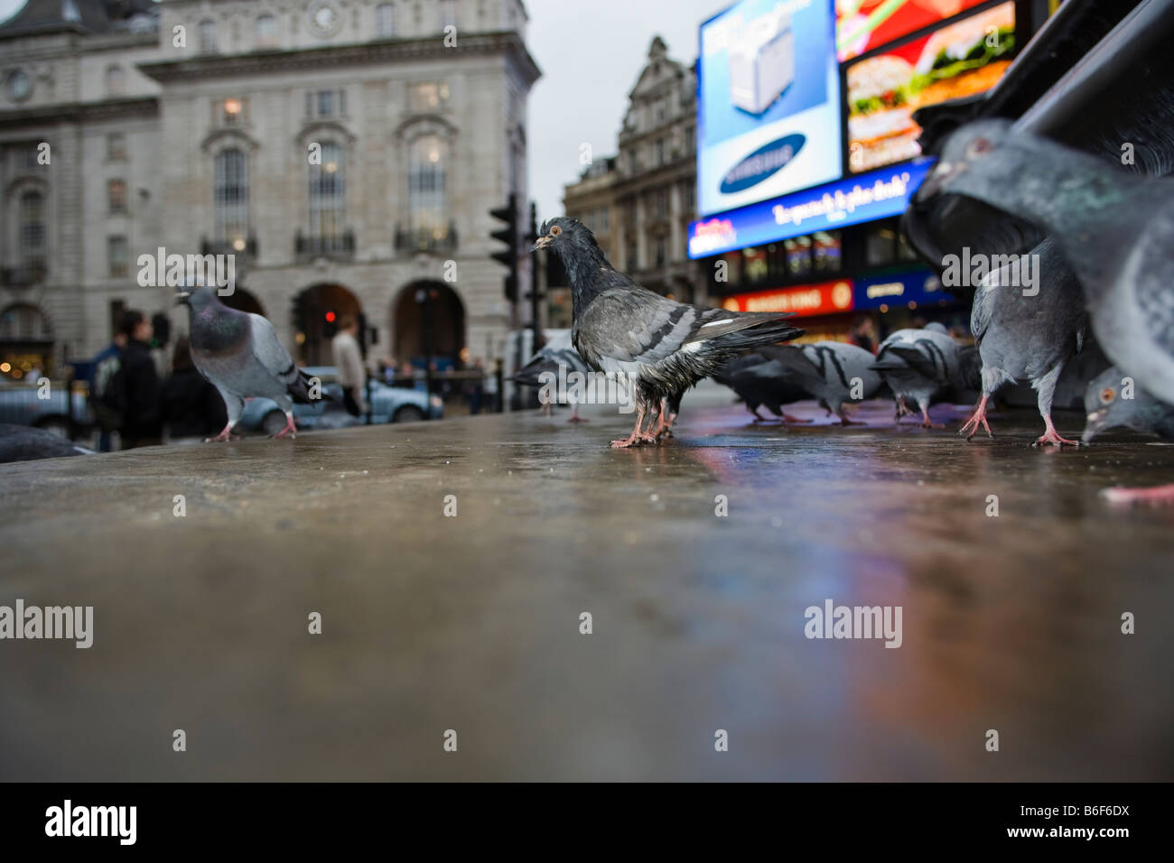 pigeon in london - Stock Image